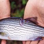 Vi khuẩn đề kháng kháng sinh – Phần I. Tầm quan trọng trong sản xuất nuôi trồng thủy sản