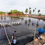 Tóm tắt lịch sử nuôi tôm ở Việt Nam – Phần 2